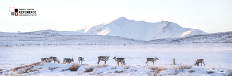 Tour du Cercle Polaire - Experience Canadienne Distinctive - Nature Tours of Yukon - caribou