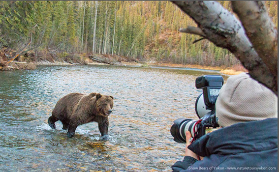 grizzly bear  viewing - photography tours yukon