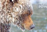 Grizzly Bear viewing with Nature Tours of Yukon
