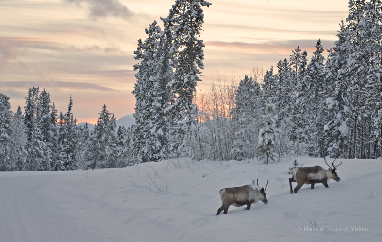 caribou - nature tours of Yukon