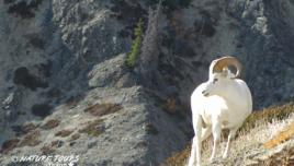 Dall Sheep in Kluane