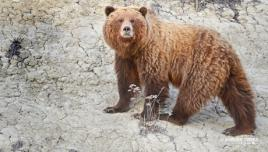 Grizzly in Kluane