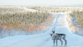 Caribou on the Dempster Highway